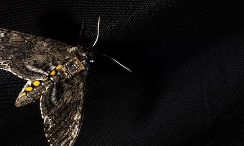 Photo of a Manuca sexta moth with a sensor on its back.